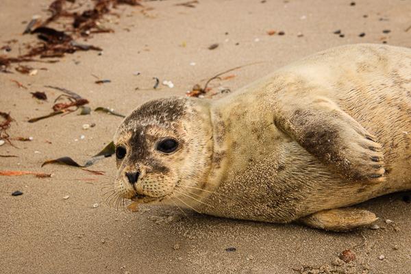 Eine junge Robbe am Strand in freier Wildbahn.